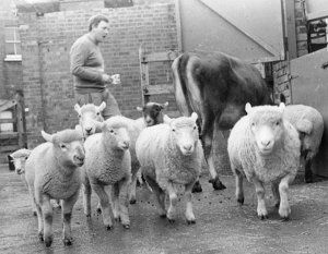 herdsman_sheep1