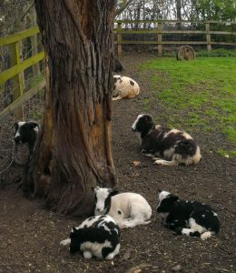 Lambs and sheep by tree