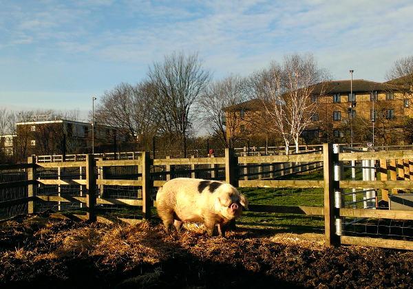 Farm pig on sunny day