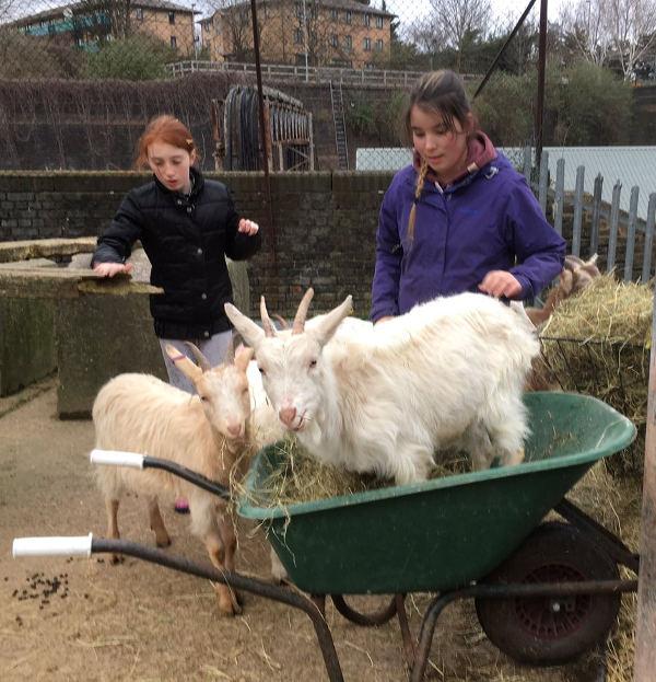 goats in wheel barrow