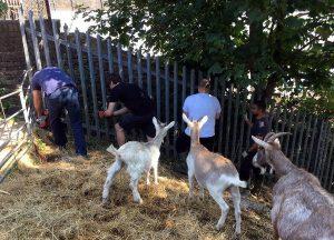 goats watch team paint