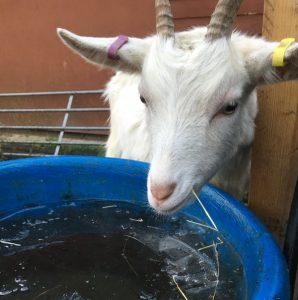 goat-kids encounter ice