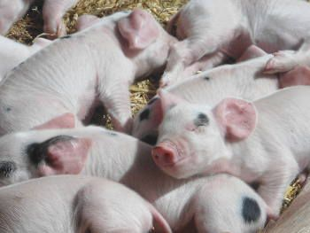 nine piglets born January 2014