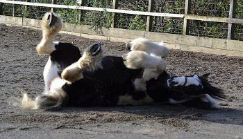 Farm horse Murphy having fun