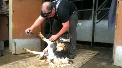annual sheep shearing 2014
