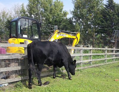 Shirley the cow and contruction digger