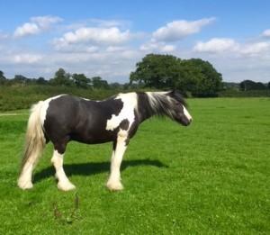 Farm horse in pasture 2015