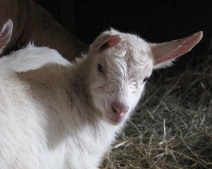newly born goat kid