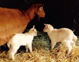 twin goat kids with mum