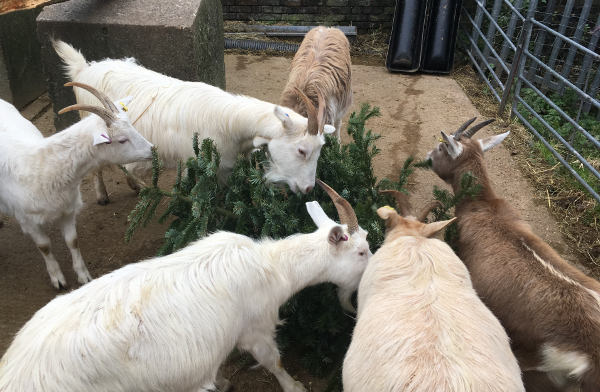The goats tuck into their first tree