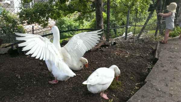 Geese spread wings