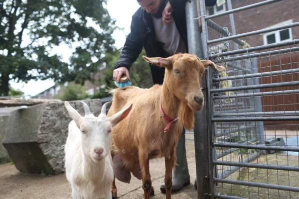 Goat-grooming