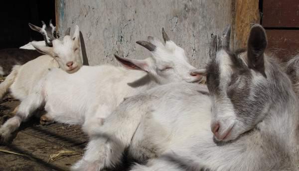 nanny goat and kids asleep