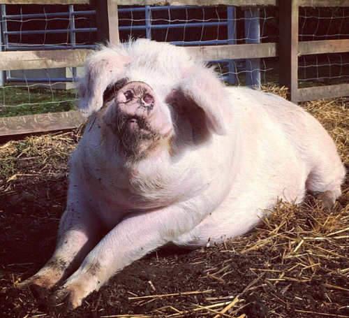 Margery Farm pig