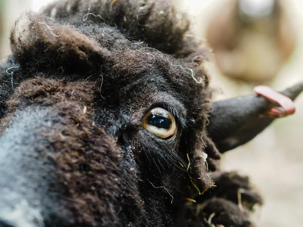 Lucky the sheep