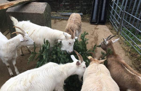 goats-tree eating
