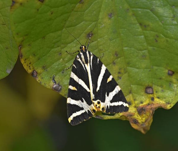 Jersey tiger wings closed