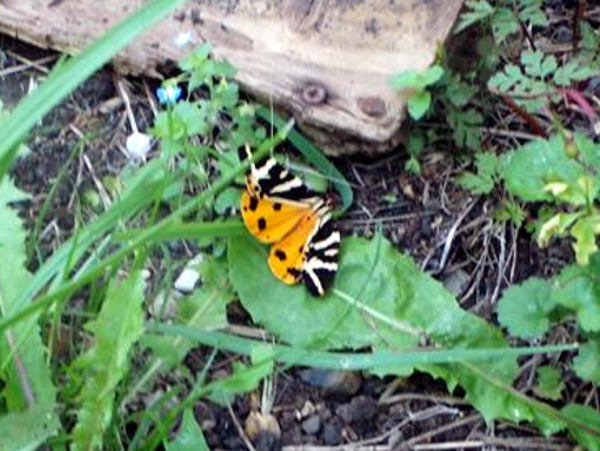 Orange under wing of Jersey tiger