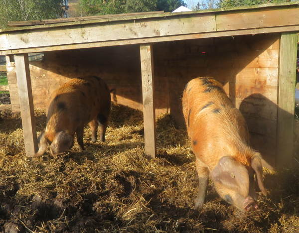 Farm pigs Wilma and Betty 2019