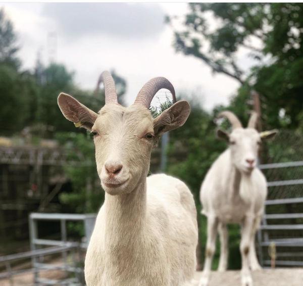 Two goats at Kentish Town City Farm