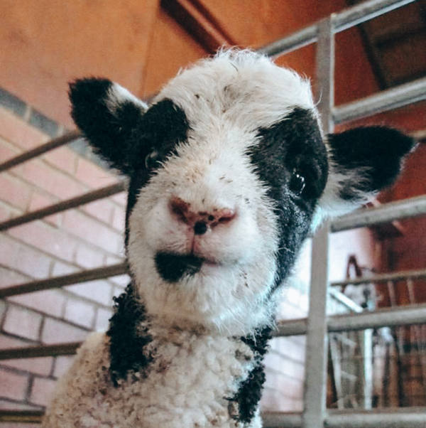 Close up of a Farm lamb