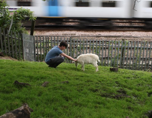Work experience student caring for goat