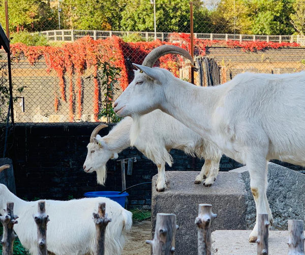 Farm goats and autumn leaves