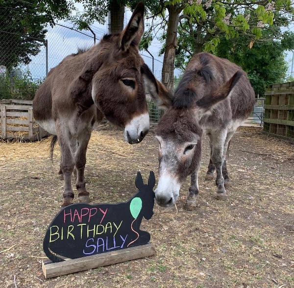 Farm Donkeys on Zoom for birthday celebration