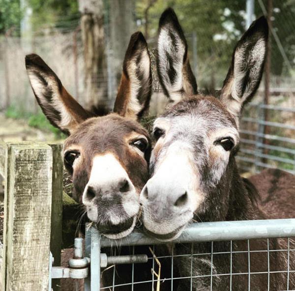 Farm donkeys Dora & Nora at the paddock gate