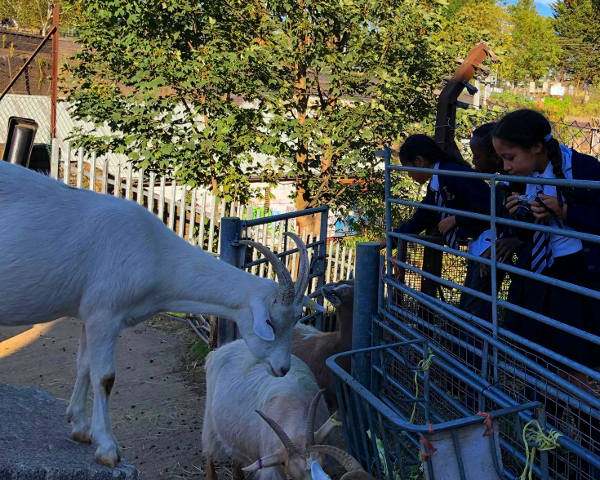 Schoolchildren visit the Farm goats