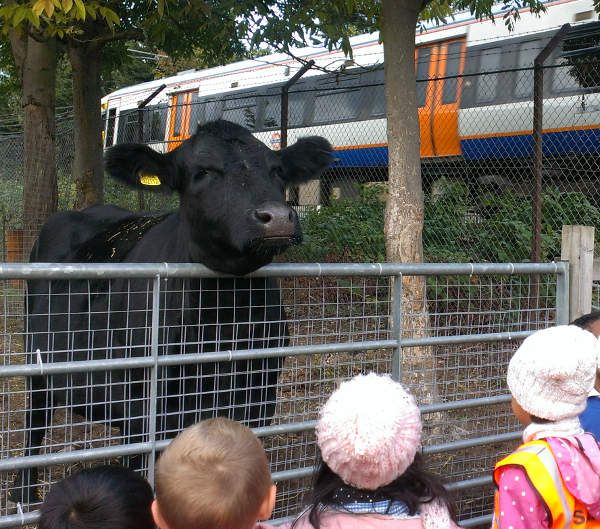 Schoolchildren meet Shirley, the Farm cow