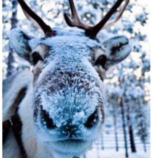 Reindeer noses are covered in fur