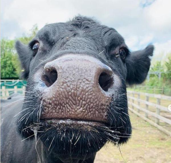 Farm cow named Shirley