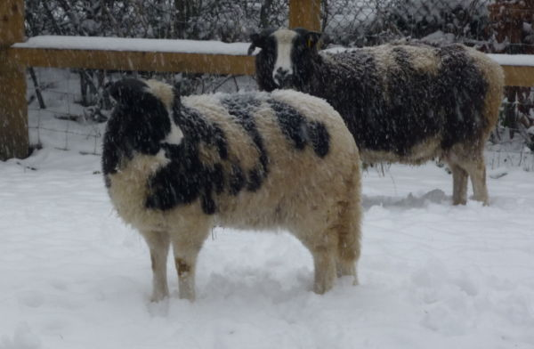 2 Jacob sheep in a snow storm