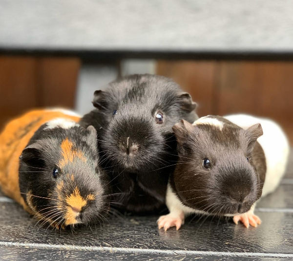 Farm's three guinea pigs wait for lunch