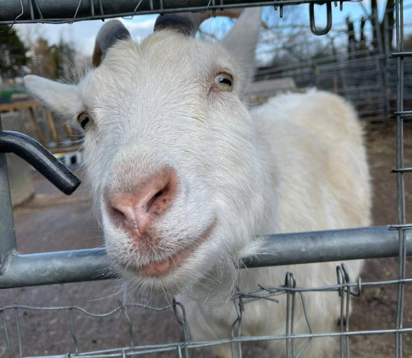 Goat leaning through railings into the camera