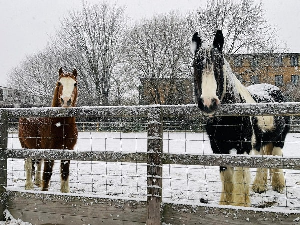 2 horses in the riding school while it snows