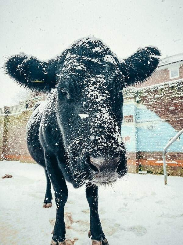 Black cow, Shirley, covered in snow