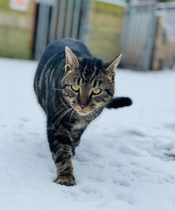 Farm cat Mr Grey, walking in the snow