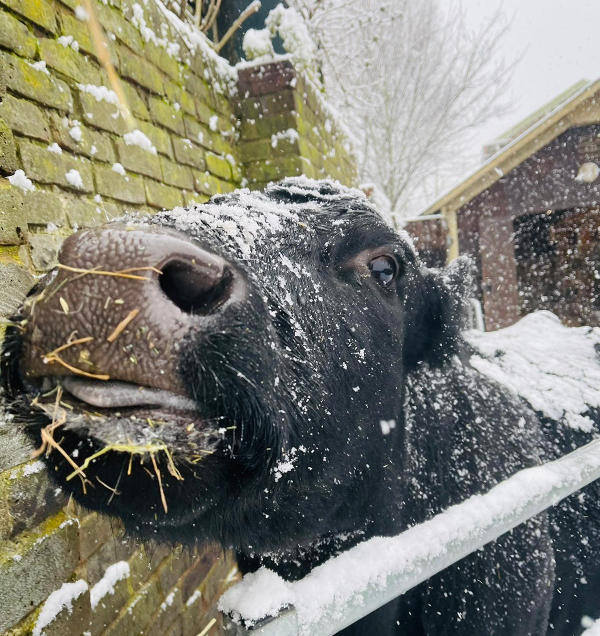 Farm cow, Shirley, sniffing the snow air