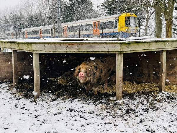Pigs under shelter in snow fall as train passes by