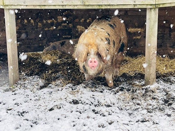 Farm pigs, Wilma & Betty, under  shelter in the snow