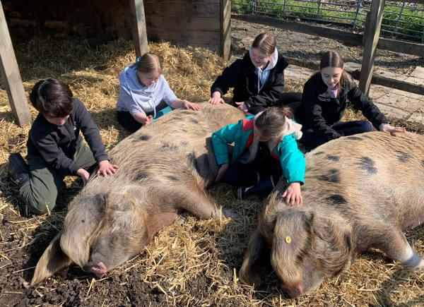 Children stroke the pigs