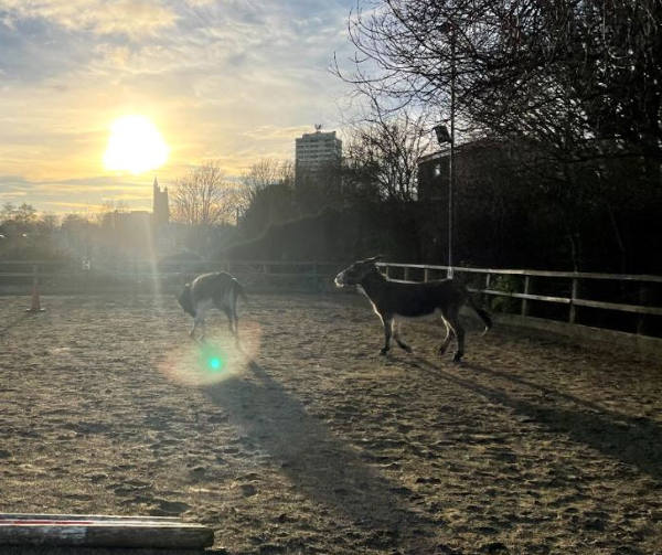 Donkeys exercise in the arena as the sun sets