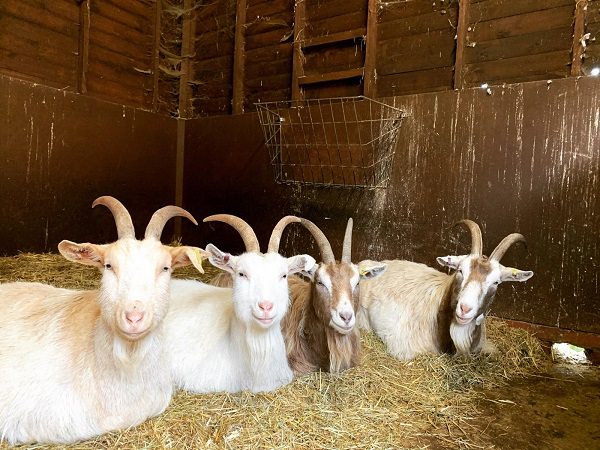 Four goats sitting in a row