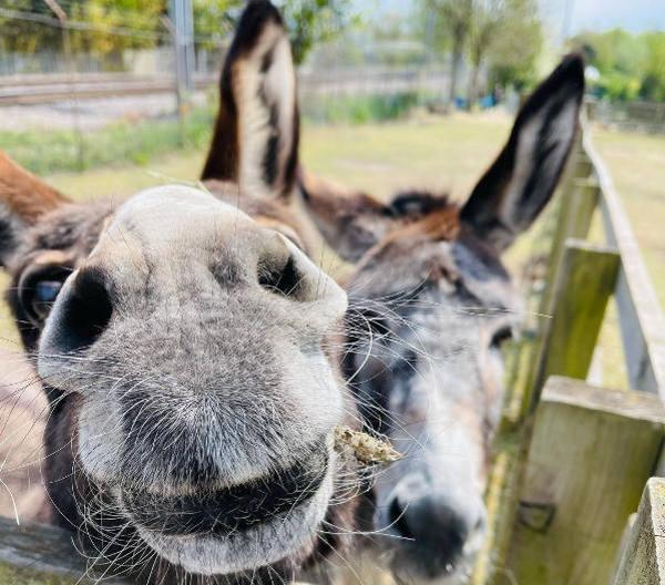 Farm donkeys Dora and Nora, spring 2021