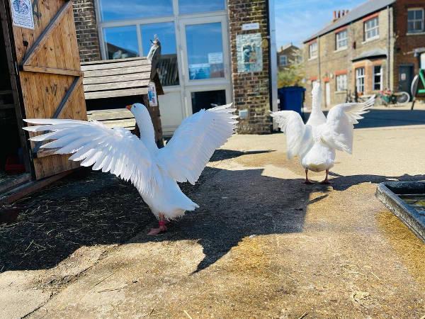 Farm geese spread their wings