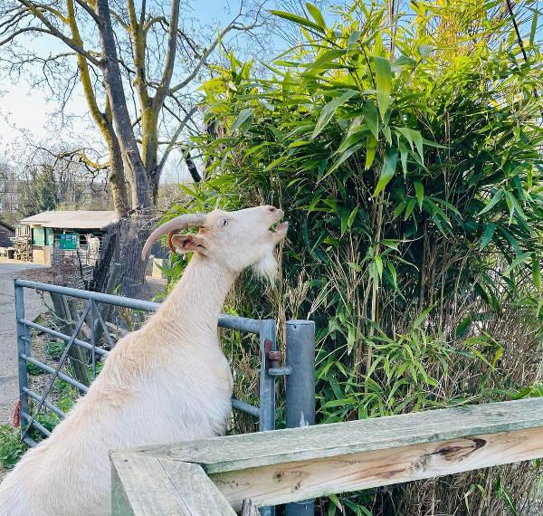 Goat Millie loves eating bamboo