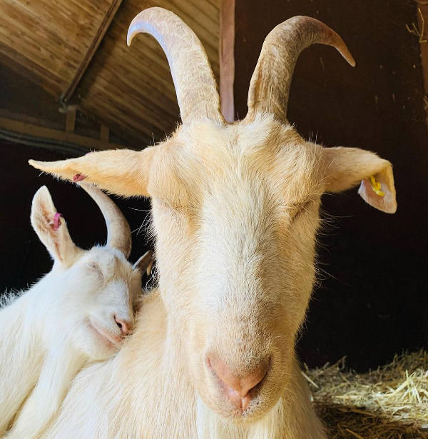 Sleeping pair of goats