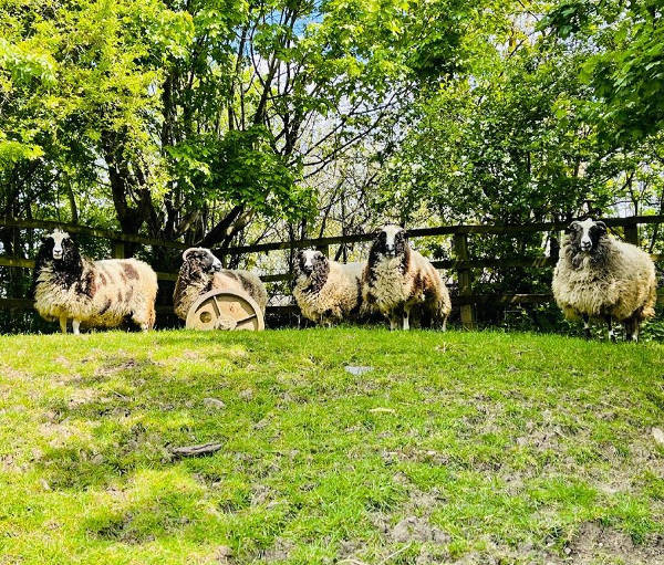 Sheep in green spring pasture